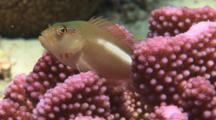 Arc-Eye Hawkfish, Paracirrhites Arcatus, In Cauliflower Coral, Pocillopora Sp.. Raises Dorsal Fin