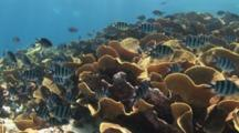 Scissortail Sergeants, Abudefduf Sexfasciatus, On Reef Of Yellow Scroll Coral, Turbinaria Reniformis
