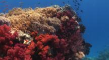 Colorful Outcrop Covered In Dendronephthya Soft Coral (Carnation Coral) And Spaghetti Finger Leather Coral, Sinularia Flexibilis