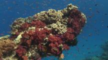 Outcrop Covered In Dendronephthya Soft Coral (Carnation Coral) And Mushroom Leather Coral, Sarcophyton Trocheliophorum