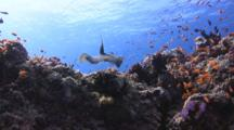 Peacock Flounder, Bothus Mancus, Flees And Swims Over Coral Reef Through Shoals Of Anthias