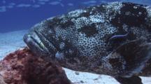 Bluestreak Cleaner Wrasse, Labroides Dimidiatus, Cleans Malabar Grouper, Epinephelus Malabaricus