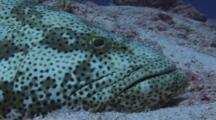Malabar Grouper, Epinephelus Malabaricus, Lies In Hollow In Sand. Close Up Of Head