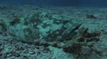 Malabar Grouper, Epinephelus Malabaricus, Resting On Sand