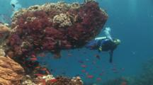 Scuba Diver Explores Outcrop Covered With Dendropnephthya Soft Coral And Mushroom Leather Coral, Sarcophyton Trocheliophorum