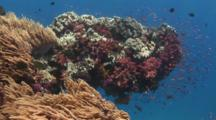 Coral Outcrop With Mushroom Leather Coral, Dendronephthya Soft Coral And Spaghetti Finger Leather Coral
