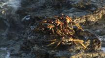 Sally Lightfoot Crabs, Grapsus Albolineatus, Washed By Waves On Rock
