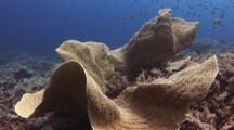 Lettuce Coral (Scroll Coral), Turbinaria Sp.