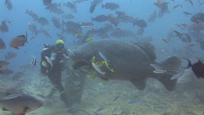 Scuba Diver Feeds Fish To Giant Grouper, Epinephelus Lanceolatus, At Shark Feed