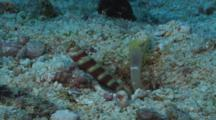 Gorgeous Prawn-Goby, Amblyeleotris Wheeleri, Guards While Snapping Shrimp, Alpheus Sp., Digs Burrow. Part 2