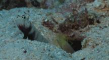 Spotted Prawn-Goby, Amblyeleotris Guttata, Guards While Snapping Shrimp, Alpheus Sp., Digs Burrow