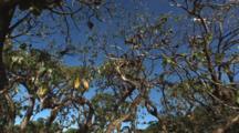 Black Noddy Birds, Anous Minutus, Nesting In Trees At Vatu-I-Ra Island, Fiji