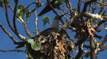 Black Noddy Bird, Anous Minutus, Sitting On Nest At Vatu-I-Ra Island, Fiji