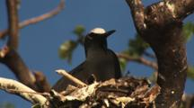 Black Noddy Chick, Anous Minutus, Sitting On Nest At Vatu-I-Ra Island, Fiji