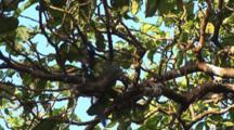 Bird (Black Noddy) Hanging From Tree By Nylon String At Vatu-I-Ra Island, Fiji