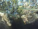 Needle Fish On Surface Swimming