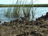 Sanderling Feeds On Shore