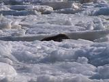 Harp Seal On Ice