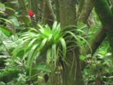 Bromeliad Plant With Red Flower