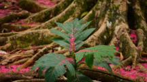 Breadfruit Sapling (Artocarpus) With Carpet Of Fuchsia Flower Petals