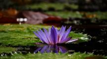 Purple Water Lilly Flower