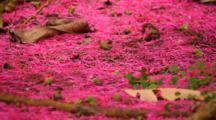 Fuchsia Flowers At Base Of Mountain Apple Tree