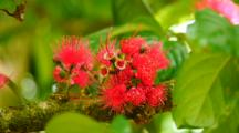 Mountain Apple Flower (Syzigium Malaccense)