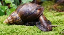 Giant African Snail Close Up