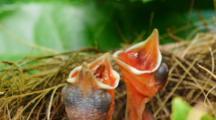 Baby Bulbul Birds Sleeping And Begging In Nest