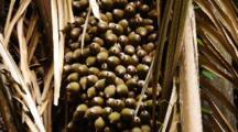 Cahone Palm Fruit
