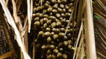 Attalea Cahone Palm Fruit