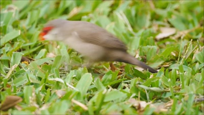 invasive species,common waxbill,bird,finch Estrilda