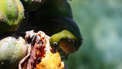 japanese white-eye bird eats papaya