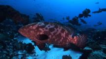 Marbled Groupers Gather For Mating Season, Facing Into The Current
