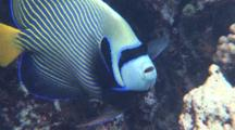 Close Up Emperor Angelfish On Coral Reef