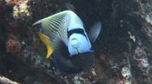 Emperor Angelfish, Mask And Stripes, On The Coral Garden