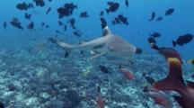 Cameraman, Diver Feeding Black Tip Sharks, Sharks Come Very Close