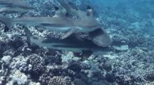 Feeding Frenzy Of Blacktip Reef Sharks