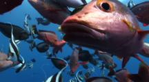 Nice School Of Paddletail Red Snappers, Banner Fishes And Racoon Butterfly Fish