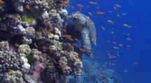 Hawksbill Turtle Searching For Food Over Colourful Coral Garden With Anthias