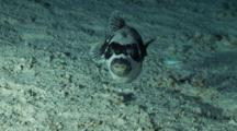 Masked Pufferfish Turns In A Circle