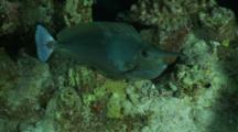 Long-Nose Unicornfish Exits Hiding Place At Night