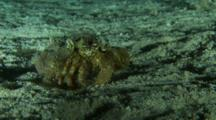Hermit Crab Feeding On Sand Amongst Silversides