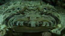 Crocodile Fish Moves Eyes