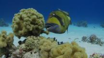 Titan Triggerfish Swims Around  Leather Coral