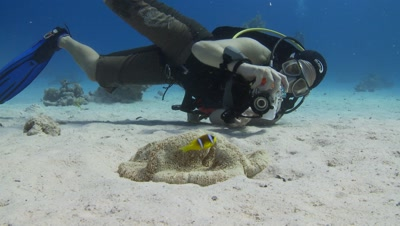 Diver Takes Photo Of Carpet Anemone And Clownfish