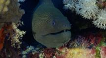 Head Of Giant Moray Eel Amongst Corals