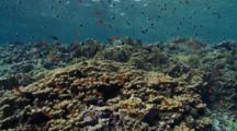 Travelling Over Hard Coral And Fire Coral Garden With Anthias
