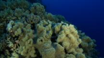 Large Group Of Leather Coral