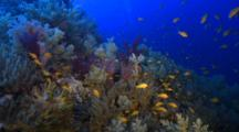 Travel Over Very Colourful Soft Coral In Deep Water